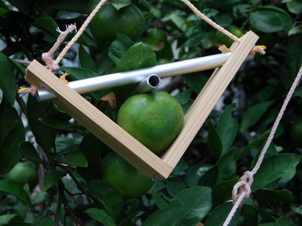 みかんの実を枠にはめてハート形に育てています