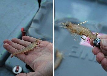 活きエビの付け方。虫エサじゃなくてよかった