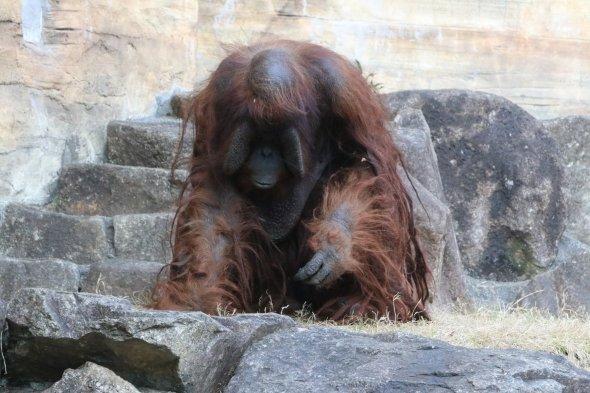 多摩動物公園の本物のオランウータン
