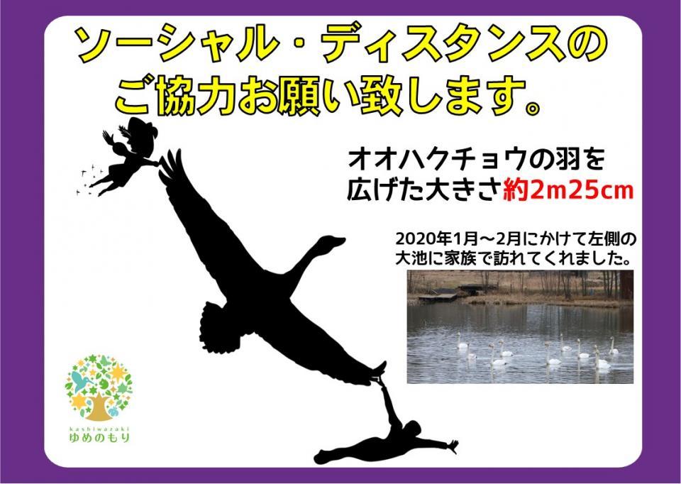 オオハクチョウの羽を広げた大きさ約2メートル25センチ(柏崎・夢の森公園提供)
