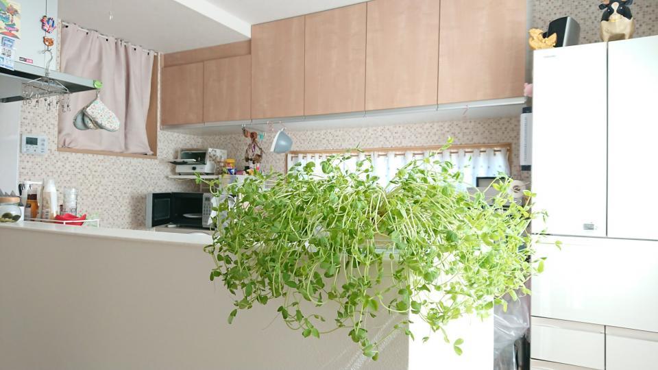 緑あるキッチン...?(画像はぴよりん@harepiyopiyoさん提供)