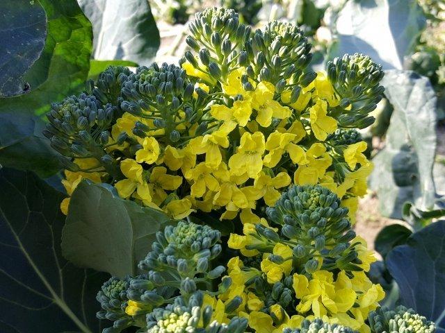 ブロッコリーの花(画像はイメージ)