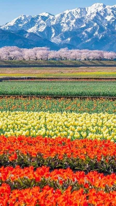「咲く時は、一斉に咲くんやね」 桜、菜の花、そしてチューリップ...春の富山の本気が素晴らしすぎる