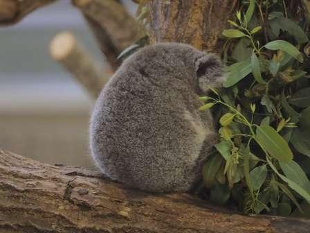 なんだこの愛くるしい毛玉は... スヤスヤ眠る赤ちゃんコアラの後ろ姿が超尊い