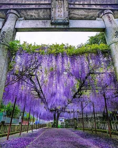 まるで鬼滅の「藤襲山」だ... 佐世保・藤山神社に咲く藤が、恐ろしいほど美しい