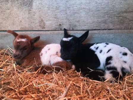 この「双子コーデ」は完璧すぎる...! 埼玉で生まれた「色違い」なヤギの姉妹が超カワイイ