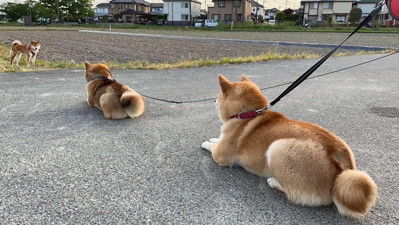 並んでお友達を待っている(画像は柴犬ふぅ@ShibaFuu0517さん提供)