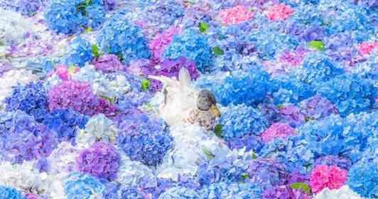 美しすぎる「アジサイの海」でひとやすみ? お花の上に乗っかった鴨にほっこり