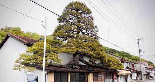 巨大な松が屋根をブチ破っている... 樹齢450年、雲南市にそびえる「浪花家の大松」はなぜこうなった?