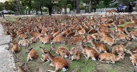 真夏の奈良の風物詩「博物館前の鹿だまり」が、今年は5月に始まっていたらしい