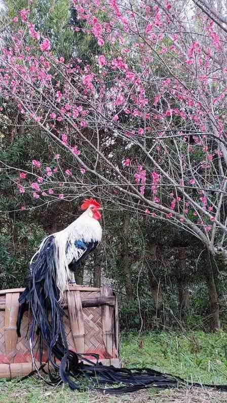海外では大人気なのに、日本では... 特別天然記念物「オナガドリ」の魅力をご存じですか?