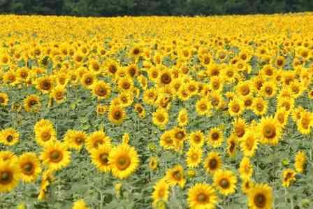 ヒマワリは「小さい花の集まり」だって知ってた?