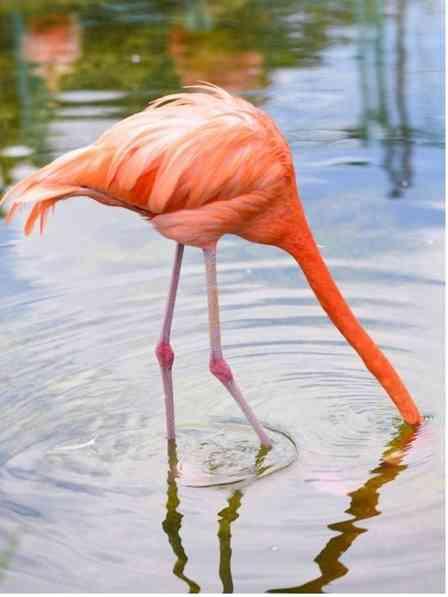 「見てるこっちが鼻痛い」 頭をズッポリ水に突っ込むフラミンゴに反響...どういう行動?動物園に聞いた