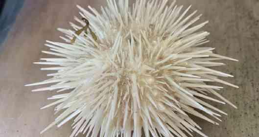 その道60年の漁師も「初めて見た」 北海道で発見された「白いウニ」に注目→どれくらい珍しい?水族館に聞いた