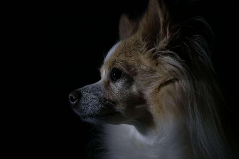 夜中に吠える隣室の小型犬たち(画像はイメージ)