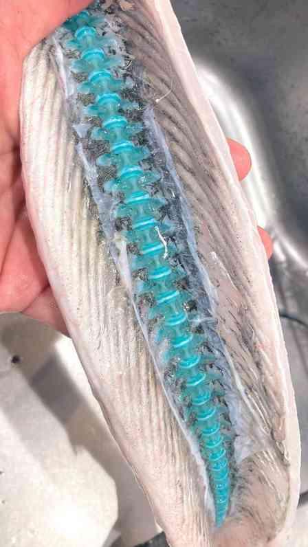 プラスチックのオモチャみたい! 釣った魚を開いたら、背骨がめっちゃ青かった→水族館に理由を聞くと...