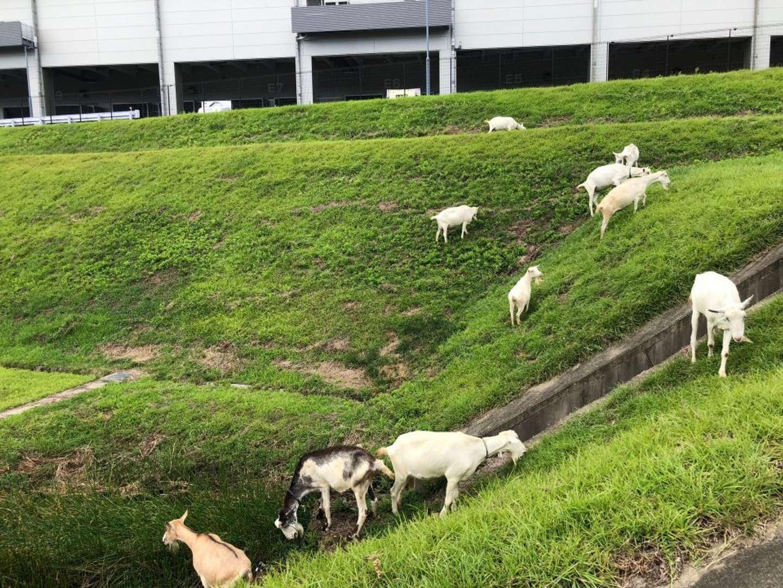 岐阜県・多治見フルフィルメントセンターに出勤するヤギさんたち(写真はアマゾンジャパン提供)