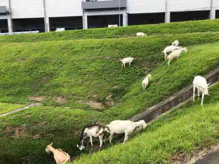 アマゾンの配送センターには週に1度、ヤギさんたちが出勤してくるらしい