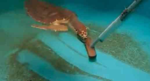 猫じゃらしならぬ「亀じゃらし」だ...! デッキブラシを追いかけるウミガメにほっこり
