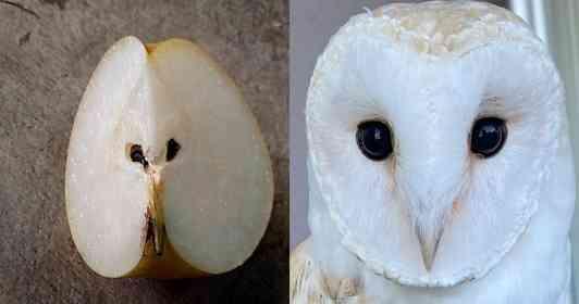 完全に一致 ナシの断面とメンフクロウのお顔が、瓜二つならぬ「梨二つ」な件