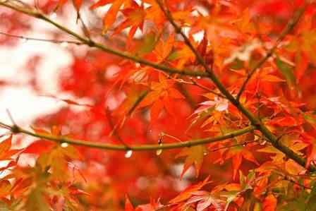 紅葉がキレイに色づくためには、「寒い朝」と「秋の雨」が超重要らしい