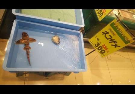 ペットにする?おかずにする? 静岡のスーパーの鮮魚コーナーで、生きた「ネコザメ」が販売されていた