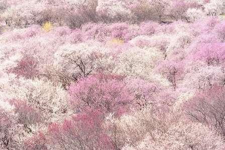 天国か...? 地元民も知らなかった「梅の名所」三重・いなべ市の絶景を見てみて!