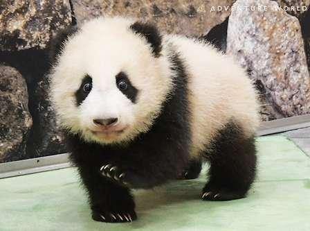 見てて幸せ!パンダの赤ちゃんの姿が、毎日YouTubeで... アドベンチャーワールドに聞く「楓浜」成長記録